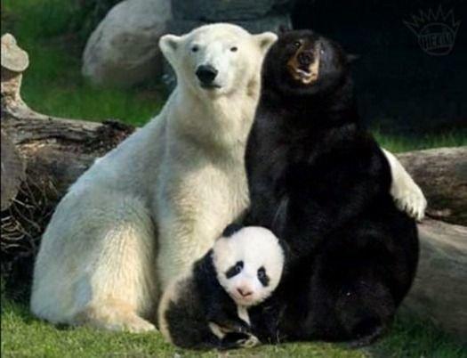 ما أصل حيوان الباندا #نهفات