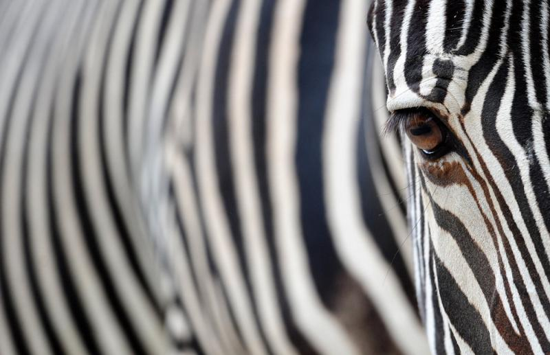 A zebra stands in its enclosure in the Berlin zoo #Nature