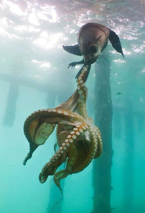 #صورة أسد البحر يهاجم الأخطبوط في لقطة من الصعب على اي مصور تكرارها