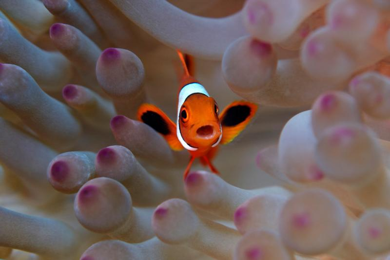Marine life is rich in the Indonesian waters of Raja Ampat #Nature