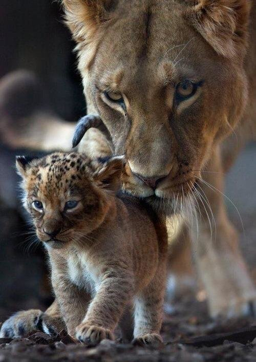 Adorable pic of a lioness helping her cub with its first steps