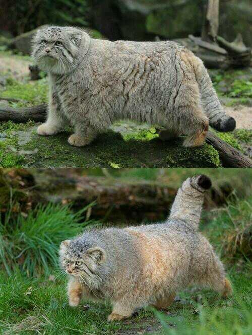 القط بالاس وهو نوع من القطط البرية تعيش في الصين