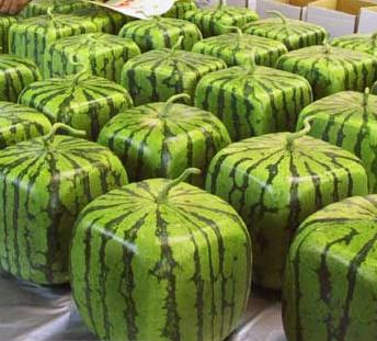 من أغرب اختراعات اليابان البطيخ المربع