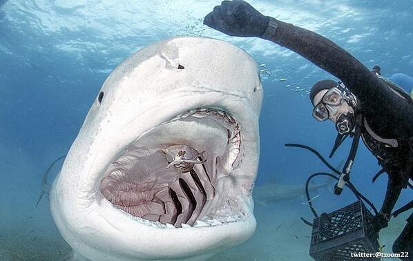 صورة لـ غواص يُطعم سمكة قرش مفترسة في جزر الباهاما..!