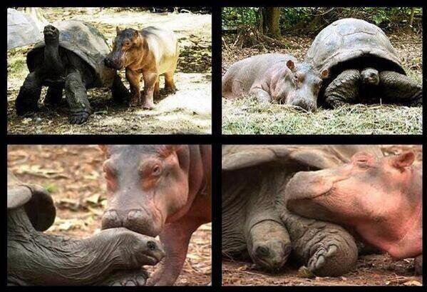 This baby hippo got separated from his family by a tsunami and a 103 year old tortoise became his best friend