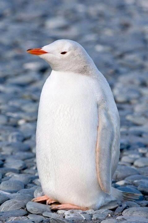 Rare White Penguin!