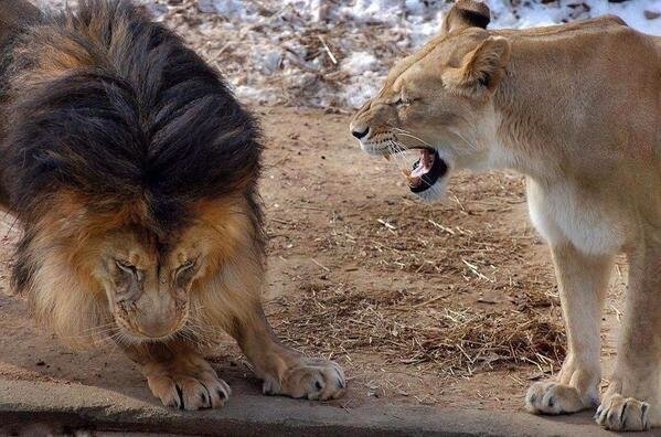 Even the king of the jungle knows not to piss off his lady
