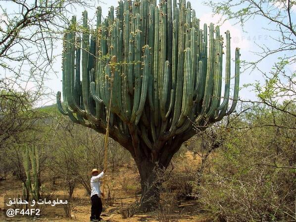 إحدى نباتات الصبّار العملاقة من أوكساكا ، المكسيك ! #غرد_بصورة #معلومات