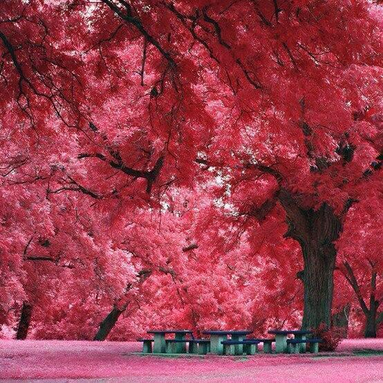 Perfectly beautiful Japanese maple trees in Austin, Texas