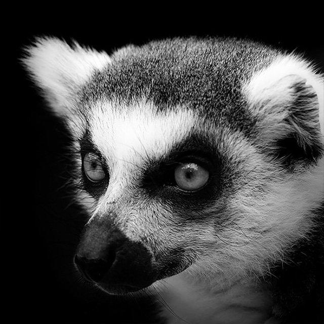 #سيلفي للحيوانات بالأبيض والأسود - الراكون