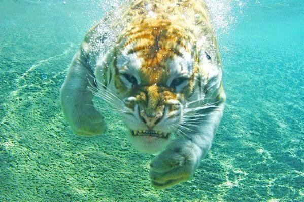 Panthera Tiger Swimming