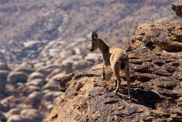 التيس الجبلي ضانا في #الطفيلة #الأردن