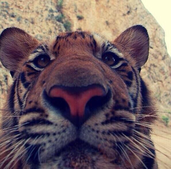 Tiger selfie!