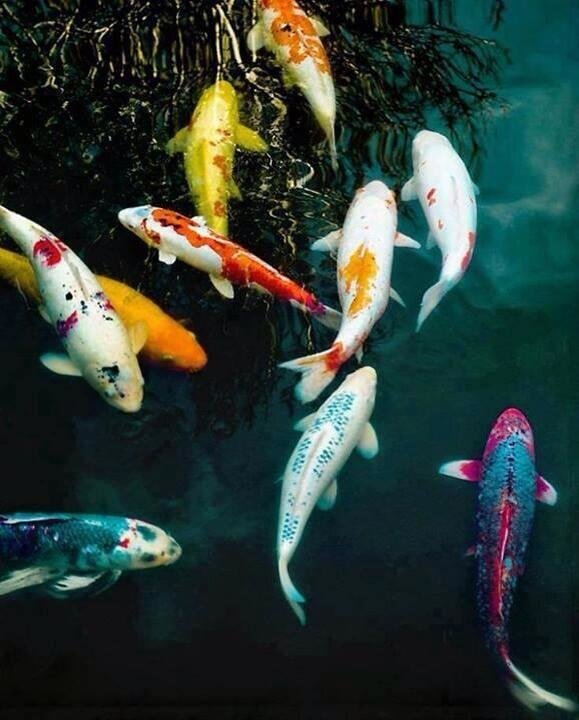 Colorful and Beautiful Koi fish they are symbols of love and friendship in Japan