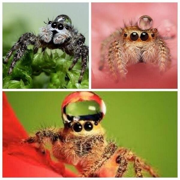 anyone feeling a bit sad, just remember that jumping spiders sometimes wear water droplets as hats