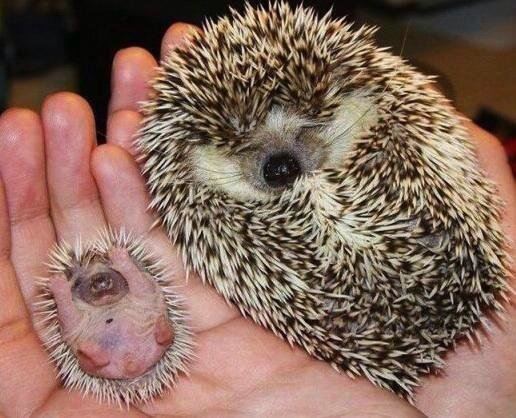 All the baby hedgehogs put ya hands UP