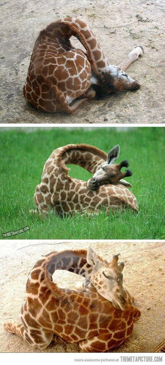 صورة توضح كيف تنام الزرافة.