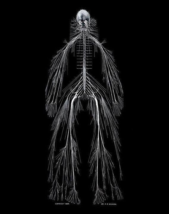 توزيع أعصاب الجسم البشري