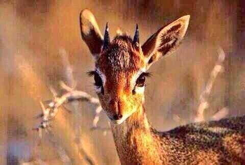 صور لعيون الريم الحقيقيه والتي تذكر في اغلب القصائد الغزليه ويجهلها اغلب الناس #حقائق_عن_الحيوانات