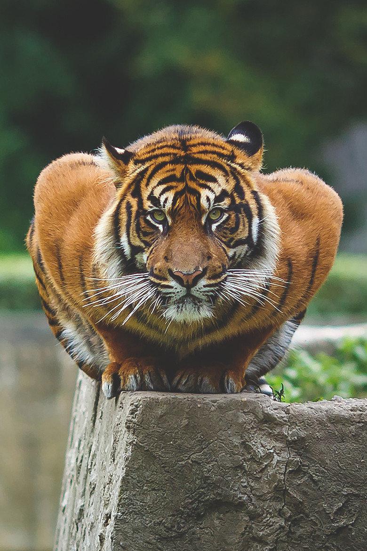 وضعية انقضاض النمر التايلاندي