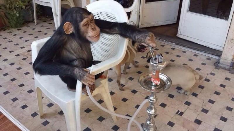 شاب يعلم الشمبانزي كيف يضع الفحم على الأرجيلة