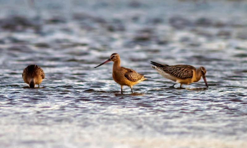 طيور في سبخة وهران - الجزائر