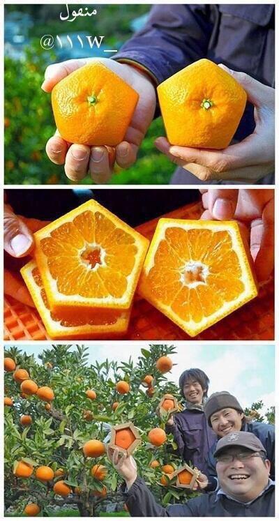 #صوره_اعجبتني نجح مزارع ياباني في انتاج برتقال خماسي الشكل عبر وضعها في قوالب خشبية لتأخذ شكلها