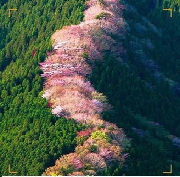 منظر جميل لـ أشجار الكرز البري في اليابان.