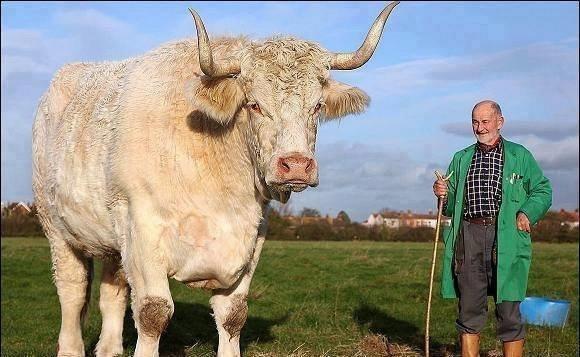 برانسفورد فيرني هو أكبر ثور في العالم، ويبلغ وزنه 2 طن #غرد_بصوره