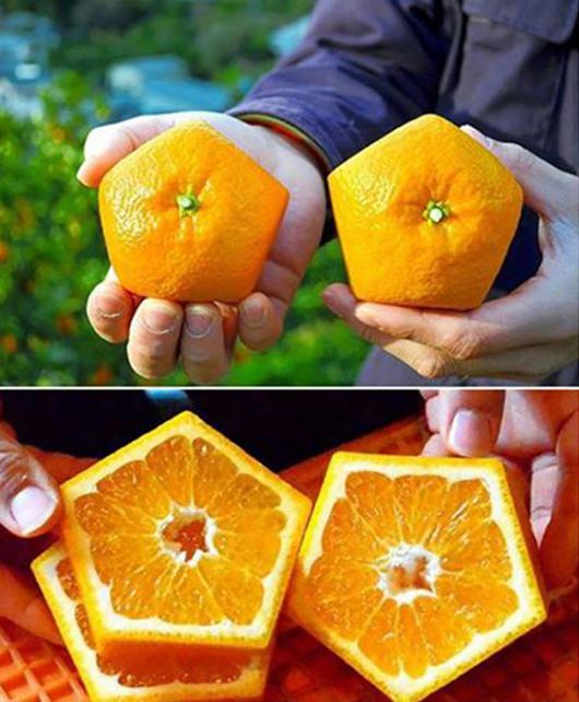 فقط في اليابان، تجد البرتقال مزروع بشكل خماسي