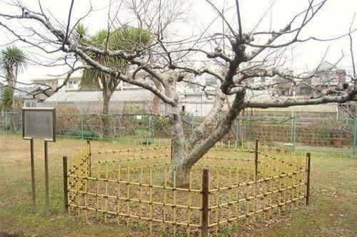 شجرة تفاح نيوتن في لندن