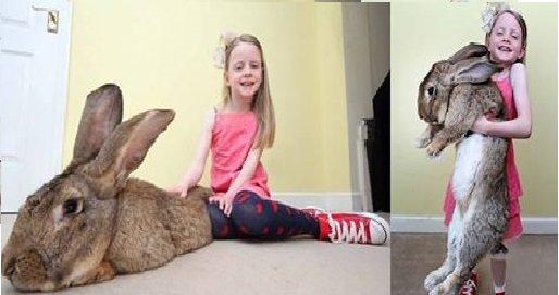 أضخم أرنب في العالم: عمره 12 شهر ووزنه أثقل من طفل في السابعة من عمره!
