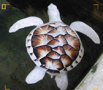 """السلحفاة البيضاء هى نادرة جدا تم اكتشاف عدد قليل جدا منها ووجدمنها واحده تقريبآ في البحر الأصفر بـ""""تنشنغتشو"""" الصين."""