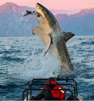 صورة مذهلة لحظة التفاط القرش الابيض العظيم لفريسته وقفزه مذهلة من الماء