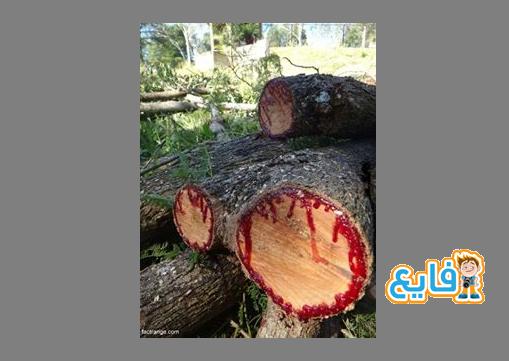 شجرة دم التنين ....سبحان الخالق صوره 2