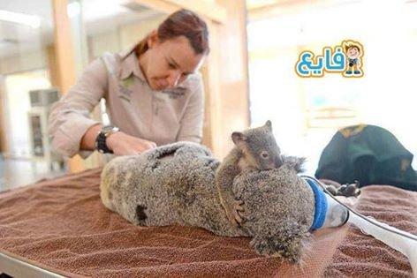 صغير كوالا يحتضن أمه أثناء إجراءها عملية لها في مركز رعاية الحيوانات في أستراليا #غرد_بصوره