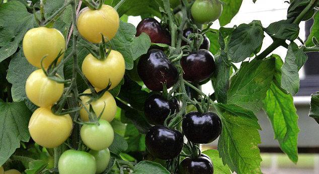 """بريطانيا: أول نبتة طماطم تنتج ثمارا \""""بالأبيض والأسود\"""""""