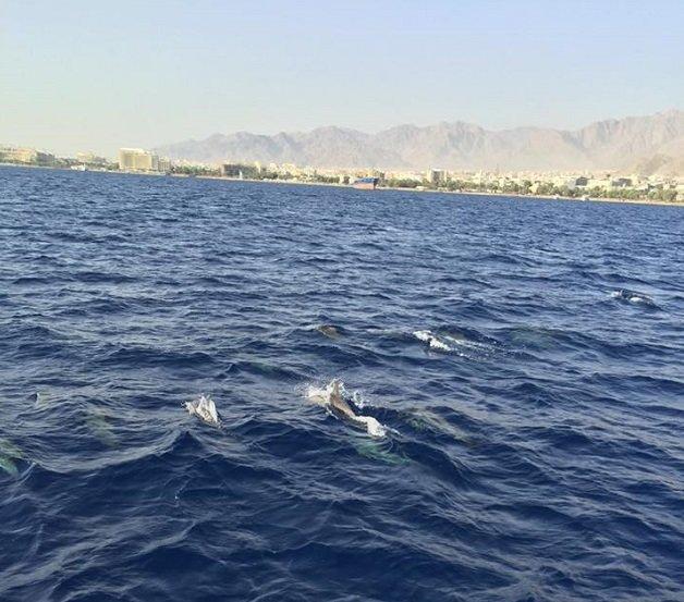 الدلافين تغزو شواطىء #العقبة قبل الزلزال