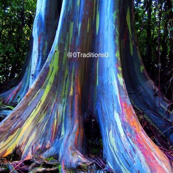 شجرة قوس قزح الصمغية #غرد_بصوره صوره رقم 1