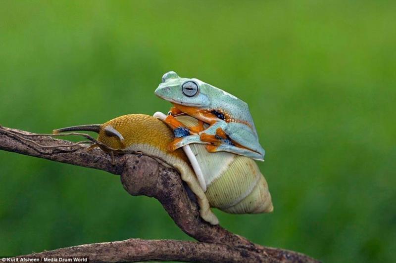 ضفدع كسول يستقل الحلزون في رحلة مجانية #غرد_بصوره صوره رقم1