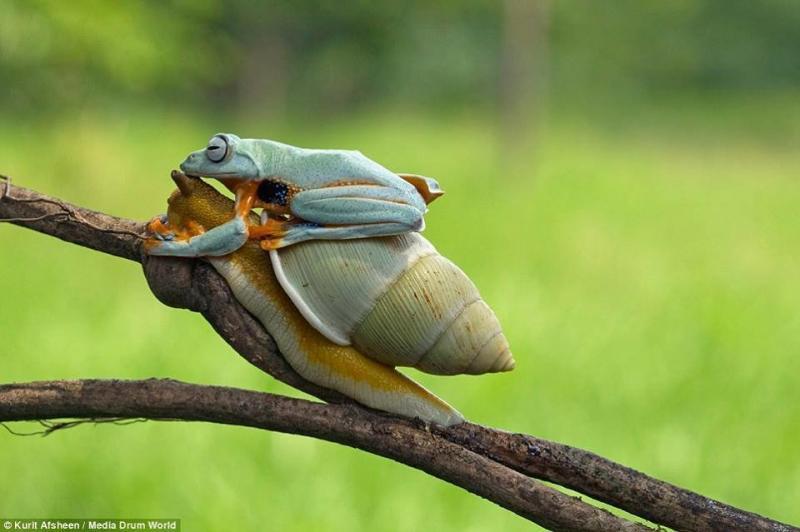 ضفدع كسول يستقل الحلزون في رحلة مجانية #غرد_بصوره صوره رقم3