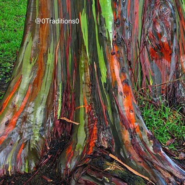 شجرة قوس قزح الصمغية #غرد_بصوره صوره رقم 2
