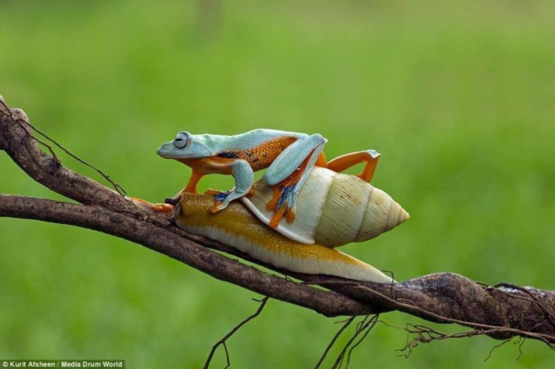 ضفدع كسول يستقل الحلزون في رحلة مجانية #غرد_بصوره صوره رقم2