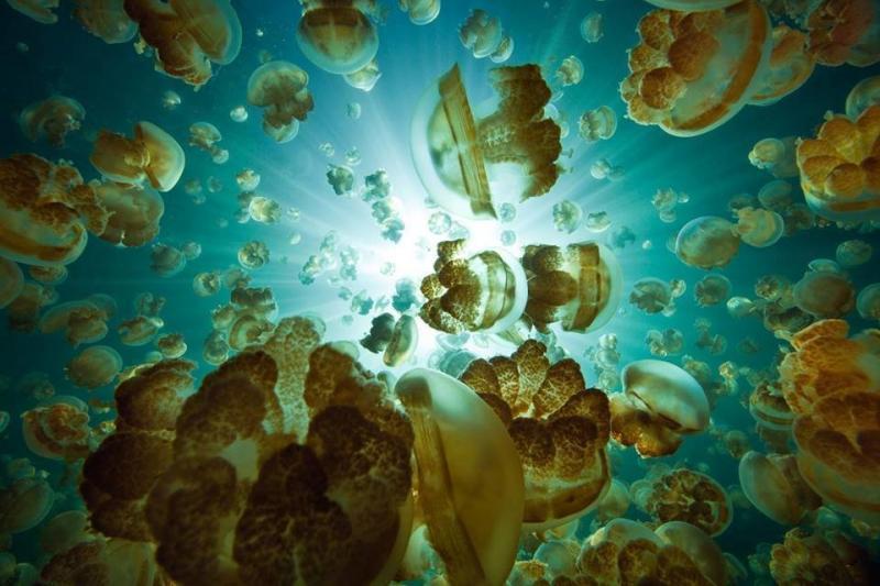 بحيرة قنديل البحر في احدى جزر المحيط الهادئ في بالاو يعيش فيها الملايين من قناديل البحر #غرد_بصوره 3