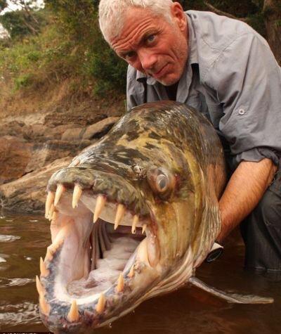 سمكة النمر المفترسة التي تعيش في نهر الكونغو و موزمبيق وزيمبابوي