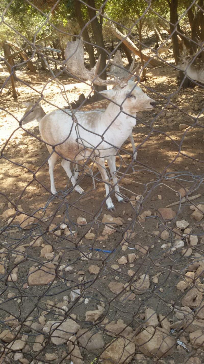 محمية دبين للغزلان #الأردن -صورة 3