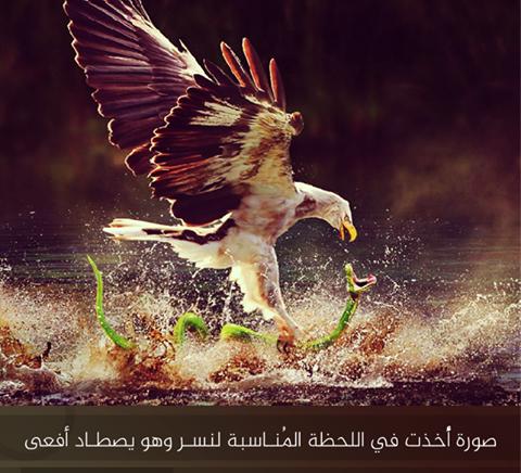 نسر يصطاد أفعى في اللحظة المُناسبة... الصورة تُجسد القوة والمُعاناة الكامنة في الطبيعة