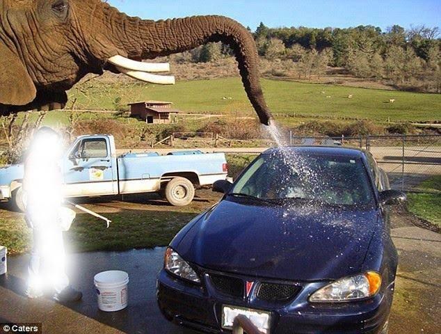 20 دولار تقوم الفيلة بغسل سيارتك #غرد_بصورة -صورة2
