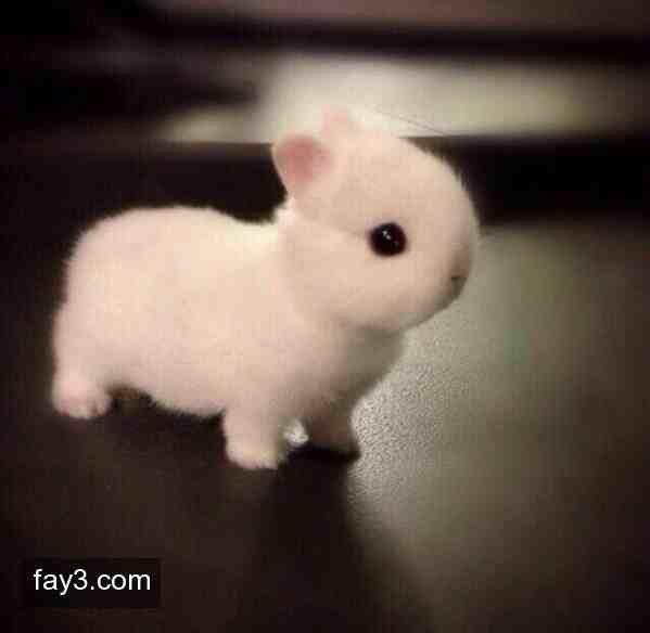 نوع من انواع الأرانب القزمه يسمى ب ارنب هولنديون #حقائق_عن_الحيوانات