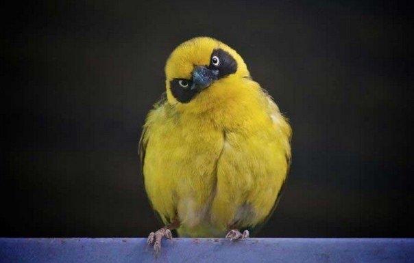 النسخ الحقيقية لطيور لعبة #Angry_birds - صورة ٣